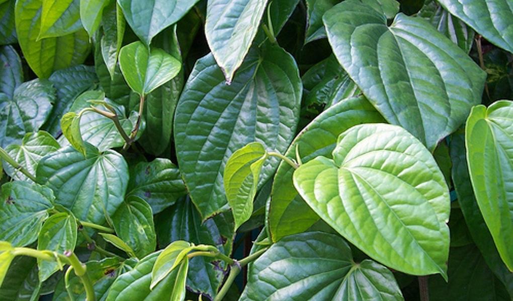 daun sirih untuk jerawat