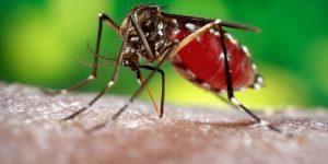 nyamuk penyebab demam berdarah